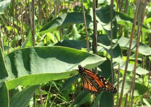A monarch preparing to lay eggs on milkweed.