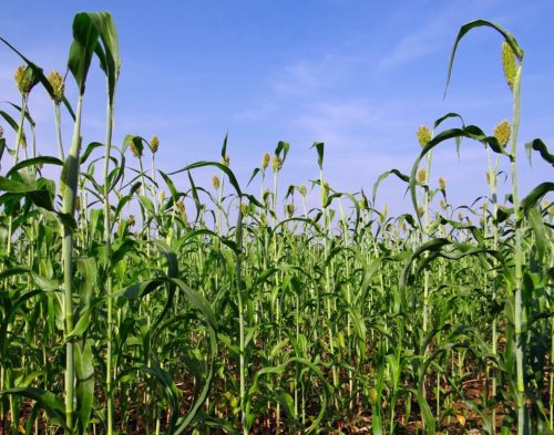 Green field of sorghum