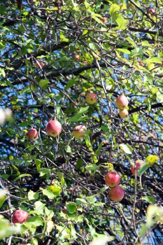 A cluster of apples on a wild apple tree