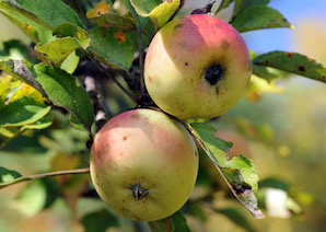 Feral Apples Have Heritage DNA at Their Core, U of G Researchers Find