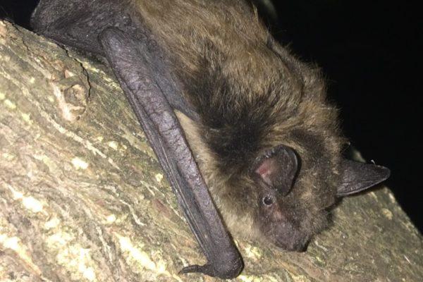 Bigger Relative Pilfering Endangered Bat's Food, U of G Study Finds