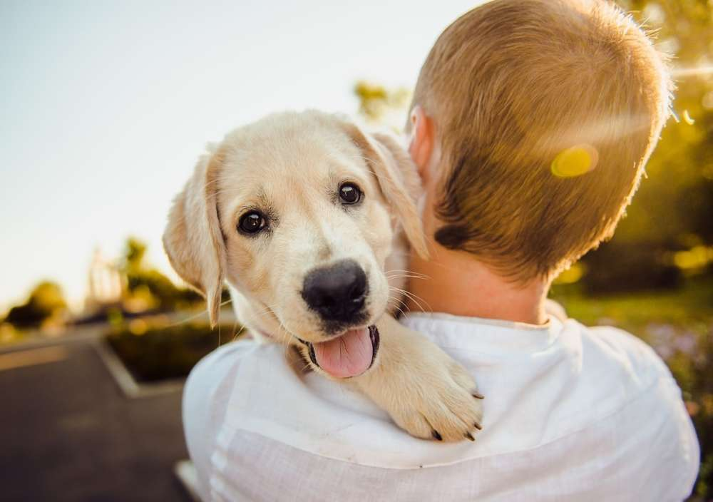 a person holds a yellow lab puppy on their shoulder