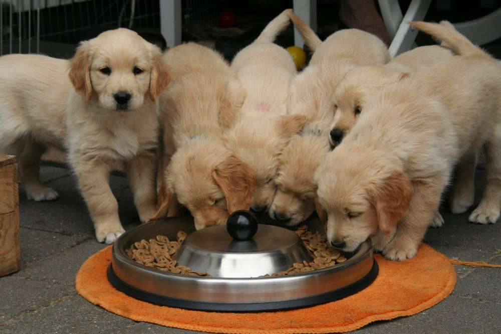 Four Golden Retirever puppies eat from the same dish