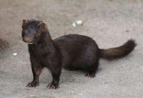 A black mink stands on gravel.