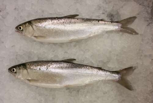 Two juvenile salmon on a bed of ice