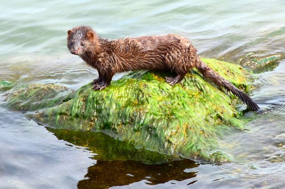 A brown mink stands on a rock in a river