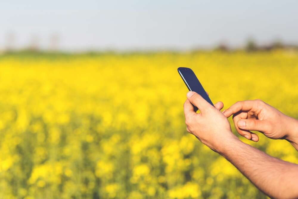 A hand halds a cellphone against a canola field
