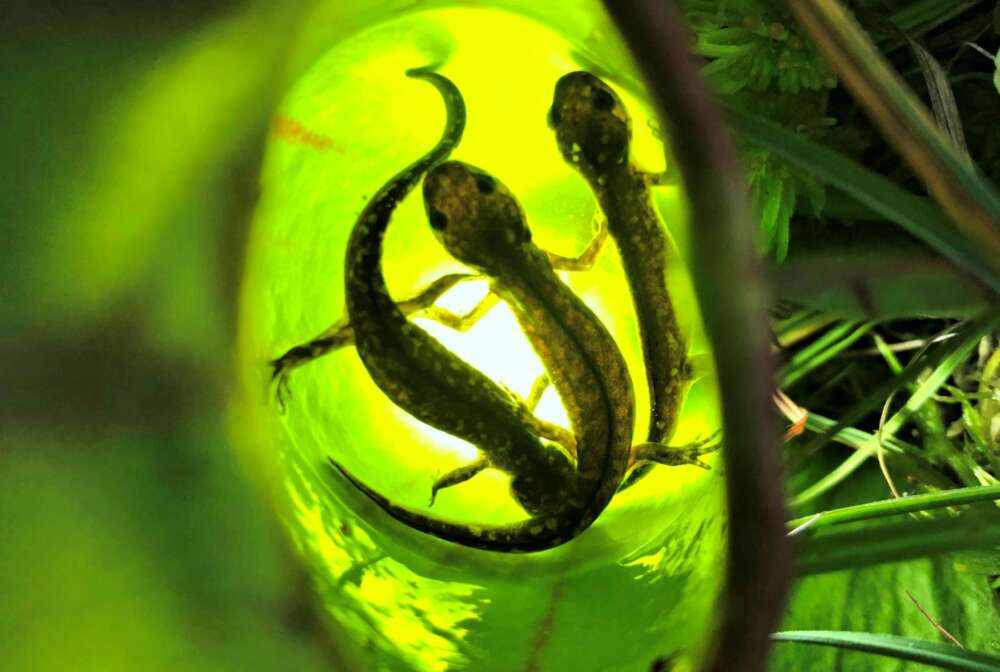 Photo shows 3 baby salamanders inside a pitcher plant