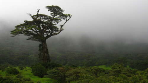 A single tall tree stands out among a cloud forest in Costa Rica