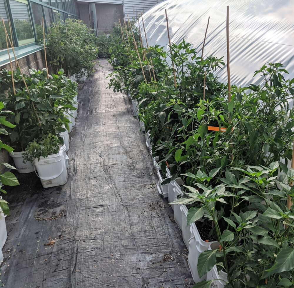 Two rows of pepper plants grow in white tubs in a greenhouse