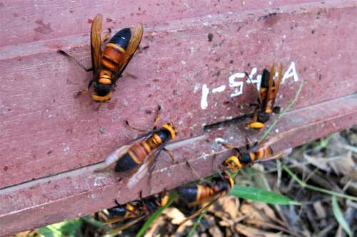 Several giant hornets hovering around a wooden honey bee hive entrance hole