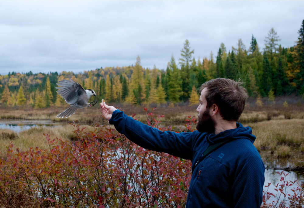 Photo shows a Canada Jay landing on Alex Sutton's hand