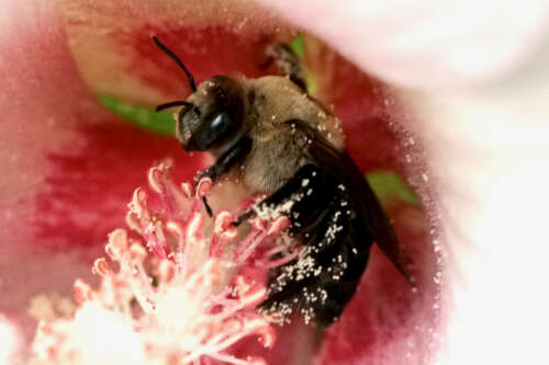 hibiscus bee in a flower blossom