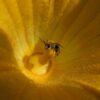 Pesticide Threatens Future for Key Pollinator: U of G Study