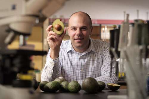 man seated before several avocados and holding half an avocado in his right hand