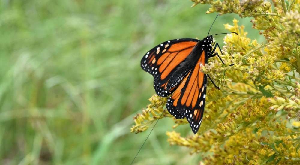 A closeup of a monarch butterfly witting on a yellow plant
