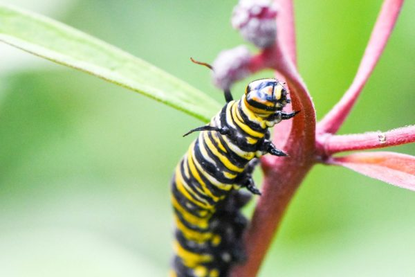 Neonic-Treated Milkweed an 'Ecological Trap' for Monarchs, U of G Studies Suggest