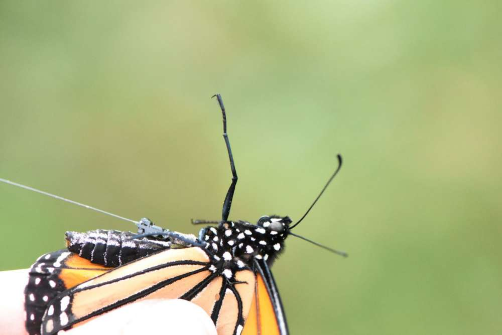Closeup photo of a monarch with a wired transmitter on its thorax