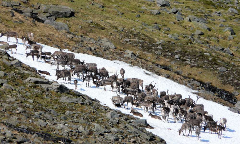 A large herd of Norway stand on snow on hillside in Norway