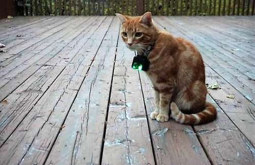 An orange tabyy cat wearing a catcam on a collar sits on a deck