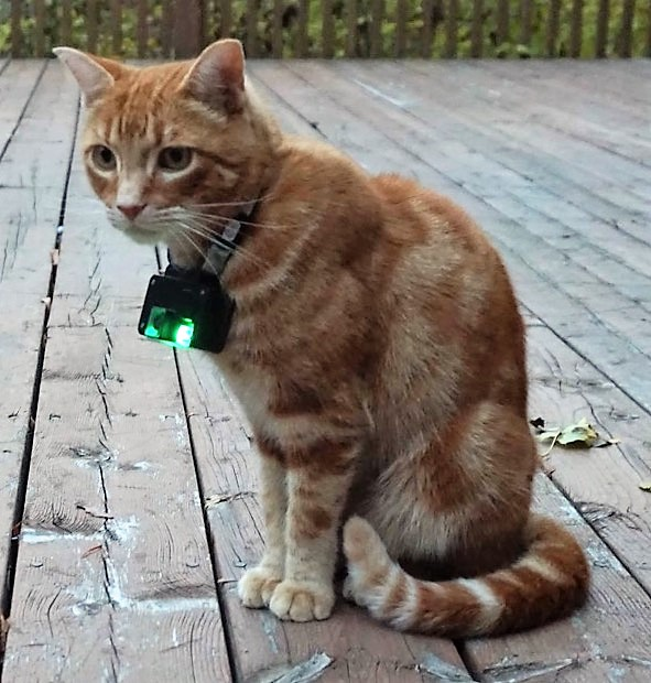 An orange tabby cat with an egg-sized camera on a collar sits on a deck