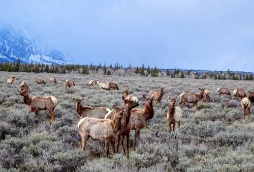 A herd of elk in a meadow near a mountain