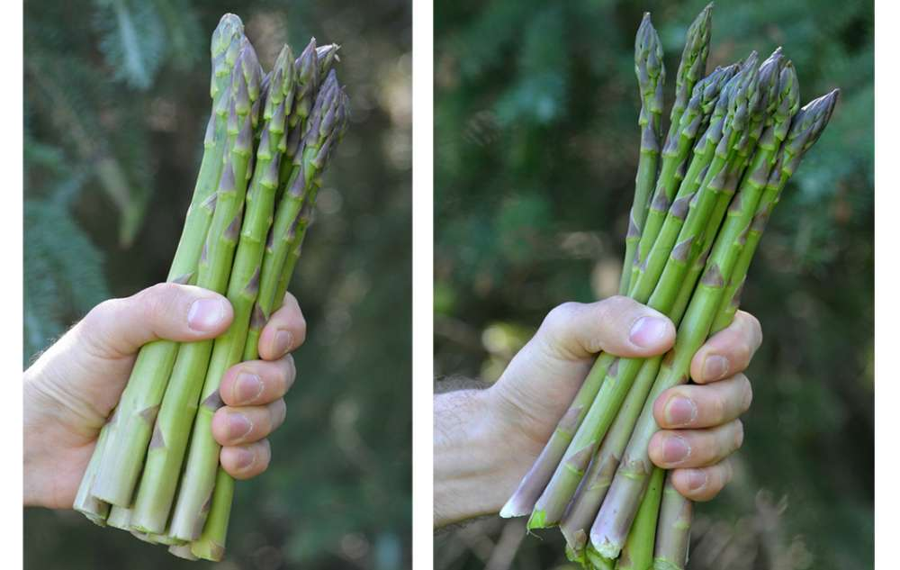 A photo of a hand holding thick stalks of asparagus next to a photo of another hand holding more slender asparagus stalks