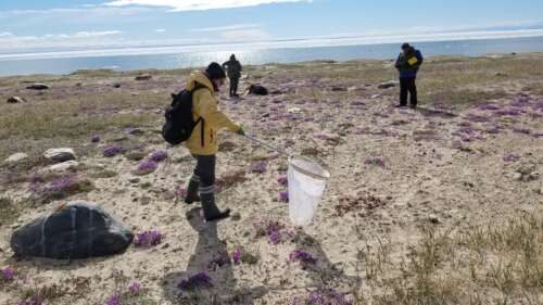 Four members of an Arctic BIOSCAN team scan the ground for arthropods
