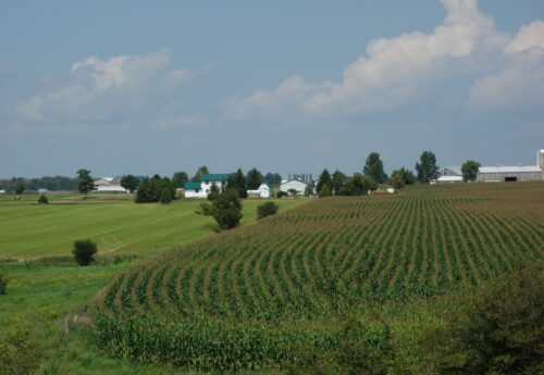 Late summer rural scene with cornfield and farm buildings in background