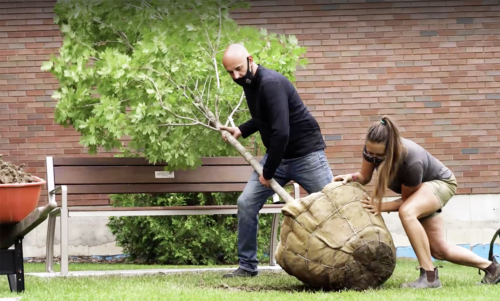 A man and a woman push a tree wrapped in burlap