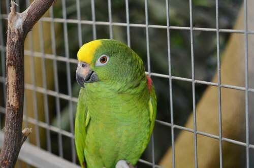 green parrot in cage